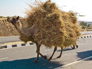 camel straw Flickr The.Rohit_.jpg